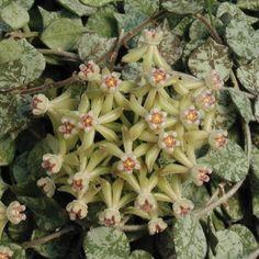 Tiny-leaf Porcelain Flower Hoya (Hoya curtisii) - Web Exclusives - Exclusives