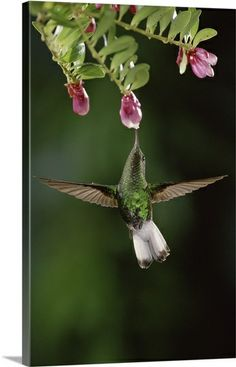 Coppery Headed Emerald Hummingbird feeding on Heath Flowers - Costa Rica