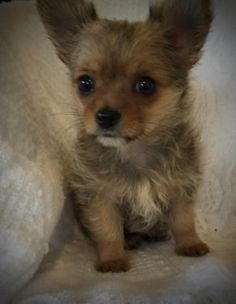 FreeAdsPets.com-3-dogs-breed-chihuahua-yorkie-mix-gender-male-age-baby-adorable-male-chorkie-greenville.JPG (291×375) Cute lil' Chorkie puppy! ❤☺