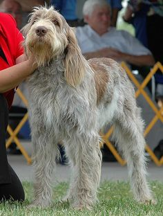 Spinone Italiano - Pretty rare hunting breed but so mild-mannered! Really lovely dog. Rare Dogs, Rare Dog Breeds, Big Dogs, I Love Dogs, Dogs And Puppies, Dog Bike Basket, Italian Spinone, Biking With Dog, Wire Fox Terrier
