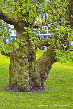Bulky tree on Westersingel, Rotterdam, the Netherlands