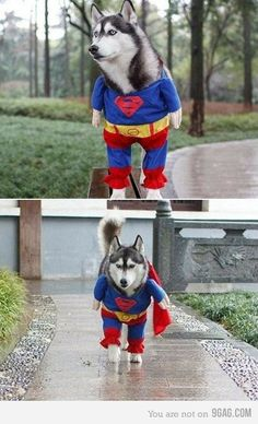 Funny pictures about Super Husky to the rescue! Oh, and cool pics about Super Husky to the rescue! Also, Super Husky to the rescue! Baby Animals, Funny Animals, Cute Animals, Husky Costume, Funny Dogs, Cute Dogs, Pugs, My Husky, Cutest Animals