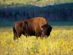 I'd like to picture nature somewhat like the pioneers did and see bison at the Grand Teton National Park.