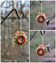 New birdseed ornaments!! Thanks to my good friend, Chris, for letting me have some of the holly berries from her huge American Holly tree. These miniature birdseed wreaths have proven to be a big hit among my backyard birds! Go to the link below for the DIY instructions: DIY Birdseed Wreath http://rebeccasbirdgardensblog.blogspot.com/2012/12/diy-birdseed-wreaths.html