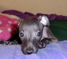 Italian Greyhound Puppies, Pitbulls, Places, Dogs, Animals, Pit Bulls, Animaux, Doggies, Animales