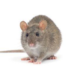 Les boules anti-mites marchent aussi pour les souris