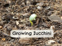 Growing Zucchini