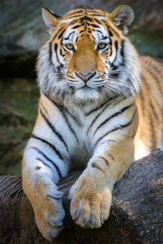 Sibirischer Tiger by udo schenkl on Bengalischer Tiger, Wild Tiger, Tiger Art, Tiger Pictures, Animal Pictures, Beautiful Cats, Animals Beautiful, Animals And Pets, Cute Animals