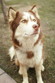 Gosh....someday I will have a Red Husky...someday...