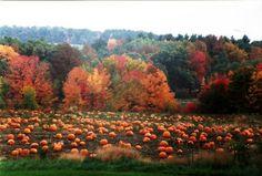 Pumpkin Field in Autumn Autumn Trees, Autumn Leaves, Fallen Leaves, Autumn Scenery, Pumpkin Field, October Country, Autumn Aesthetic, Thing 1, Seasons Of The Year