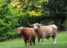 Highland cattle stand in front of the early autumn colours on display at the Yorkshire Sculpture Park, Wakefield Fine Art Prints, Framed Prints, Canvas Prints, Autumn Animals, Yorkshire Sculpture Park, Highland Cattle, Early Autumn, Recent Events, Autumn Colours