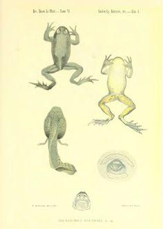 Batracios y reptiles de la Rioja y Catamarca, recogidos durante los meses de febrero a mayo de 1895 - BioStor