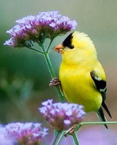 : Goldfinch on verbena bonariensis