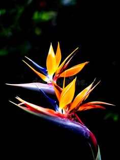 Photo about Two beautiful queen's bird-of-paradise flowers. Image of background, tropical, flower - 4074305