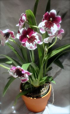 Tropical Flowers, Cactus Flower, Tropical Garden, Flowers Nature, Exotic Flowers, Flower Pots, Beautiful Flowers, Orchids Garden, Orchid Plants