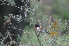 Rose-breasted Grosbeak~ love them<3 Tammy Taylor-Kosiba's Photography 2012