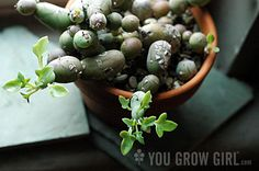 Senecio articulatus f 'Globosa' - the same family as String of Pearls - but truly a strange looking plant