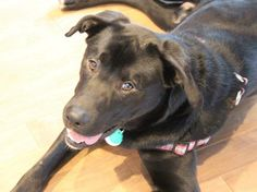 Rocko bio -  Speciality Male / Neutered Fee $375  Foster Location Mississauga, ON  Breed Guess Labrador / Hound Cross  Age 1 Year Old Weight 60 Lbs