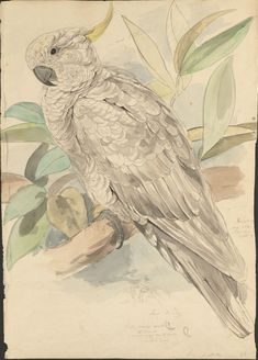 https://flic.kr/p/aoQ6b1 | Sulphur-crested cockatoo -- graphite and watercolor drawing (63) | See: bibliodyssey.blogspot.com/2011/09/lears-parrots-prequel.html  AND  bibliodyssey.blogspot.com/2008/11/parrots.html