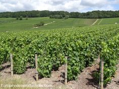 Vineyard in Epernay, in Champagne, France