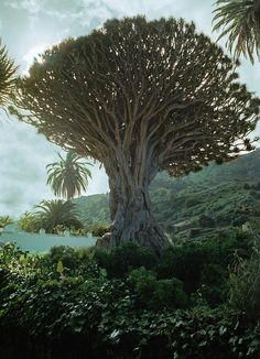 Ancient dragon tree - Spain