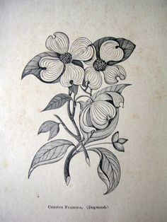 Paper Ephemera Drawing of Dogwood Flower by dustydrawers on Etsy