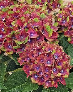 108 Best Hydrangeas Images Limelight Hydrangea Hydrangea