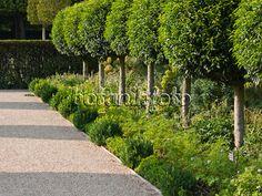 Image Portugal laurel (Prunus lusitanica), Parc de Sceaux, France ...