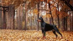 30 Most Popular Big Dog Breeds in America – Page 5 Norfolk Terrier, Terrier De Norwich, Springer Spaniel, Cocker Spaniel, Skye Terrier, Yorkshire Terrier, Perro Doberman Pinscher, Doberman Dogs, Chien Dobermann