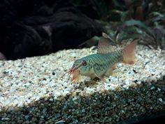Pez Botia, Clown Loach, Aquariums, Aquarium Fish, Pets, Animals, Exotic Fish, Pisces, Tanked Aquariums