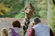 CRANING: A giraffe looked at visitors at a zoo in Duisburg, Germany, Friday. (Roland Weihrauch/DPA/Zuma Press)