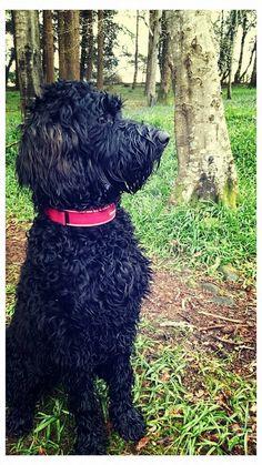 Goldendoodle Black