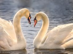 Spring time is a great time to photography Mute Swans! The Shape of Love by Christopher Cove on 500px