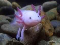 1000 images about mexican walking fish on pinterest for Mexican walking fish
