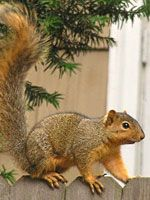 The Eastern Fox Squirrel (Sciurus niger) is among the larger of the tree squirrels in Oregon.