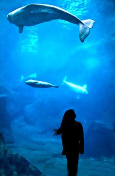 The beluga whale exhibit at the Georgia Aquarium, Atlanta, GA. Aquarium Pictures, City Folk, Marine Biology, Zoology, Photomontage, Adventure Awaits, Fish Tank, Under The Sea, Portraits