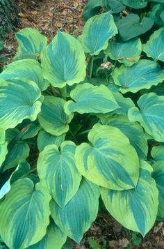 "Hosta 'Lime Smoothie' (Large, 22"" X 48"") This is not just another variegated hosta! Its undulating leaves have waxy green centers and broad, lime green borders that become cream colored in late summer, a very unique coloration. Light lavender flowers in June and July."