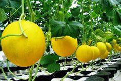 Melom golden seed Just 10k sms / wa 085777119992 line id : silkynazma