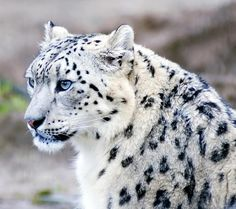Female Snow Leopard by Steve aka Crispin Swan