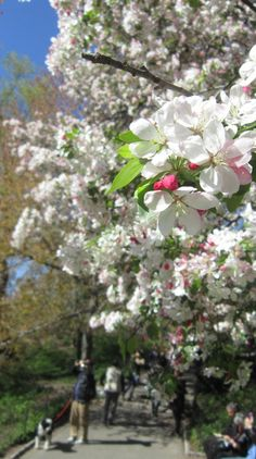 New York; Blossoms