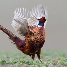 Pheasant flap by Richard Peters