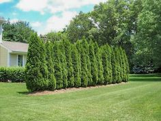 Need privacy trees to help block out your neighbor? Our privacy trees are the perfect solution! Pick and order your fresh privacy trees online today for FAST delivery! Green Giant Tree, Thuja Green Giant, Best Trees For Privacy, Privacy Trees, Privacy Fences, Arborvitae Tree, Emerald Green Arborvitae, Thuja Smaragd, Privacy Landscaping