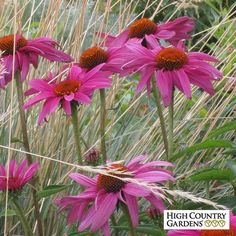 Echinacea purpurea Rubinstern - Rubinstern (Ruby Star) is a German bred cultivar with deeply colored rose-red petals that stretch out horizontilly from the center cone. A vigorous long bloomer with some of the darkest flowers you'll see on a purple coneflower.