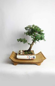 Hey, I found this really awesome Etsy listing at https://www.etsy.com/listing/217852278/fukien-tea-bonsai-tree-by-livebonsaitree
