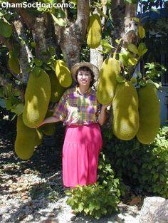 Mít thái cách trồng và chăm sóc cây mít thái có mấy loại  xem thêm tại chamsochoa.com
