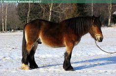 Jutland - stallion Devitsrødgårds Harald