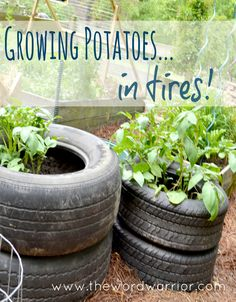 Growing potatoes in tires!