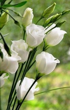 Eustoma (archaic name is Lisianthus). Lisianthus flowers are either single-flowered or double-flowered. Amazing Flowers, Beautiful Flowers, Beautiful Gorgeous, Exotic Flowers, White Roses, White Flowers, Yellow Roses, Purple Flowers, Pink Roses