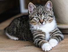 Tabby Kittens, Cats, Friends, Animals, Amigos, Gatos, Animales, Animaux, Animal