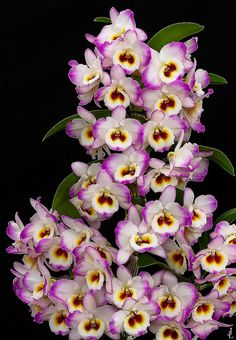 Orchid: Dendrobium nobile © by j.lacerda